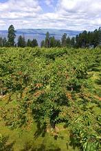 Cherry Orchard Flathead Lake Summer Aerial