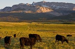 Cows Dupuyer, Montana Dupuyer, MT Spring Critters