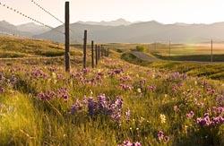 Wildflowers Dupuyer, MT Spring Flowers