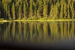 Moose in motion Glacier Park Summer Wildlife