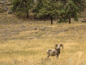 Bighorn Sheep on Wild Horse Island