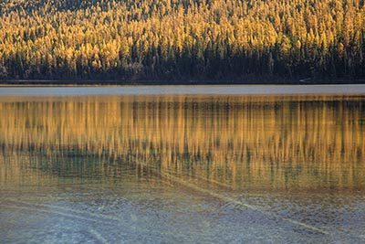 Bowman Lake Larch Reflection