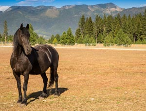 Fresian Horse on Sandy Lane