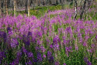 Fireweed in full bloom in Glacier