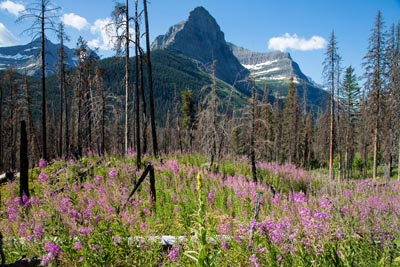 Glacier Peaks with Fireweed