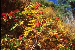 Mountain Ash Jewel Basin, MT Fall Flowers