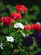 Whitefish, MT Summer Flowers